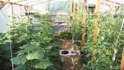 Что можно сажать рядом с помидорами в теплице. С кем томату хорошо?