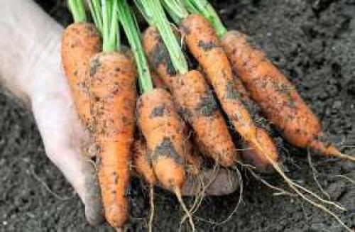 Когда собирать морковку. Когда нужно убирать морковь