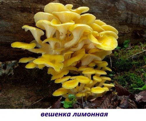 Гриб белая шляпка белая ножка. Пластинчатые вкусные грибы