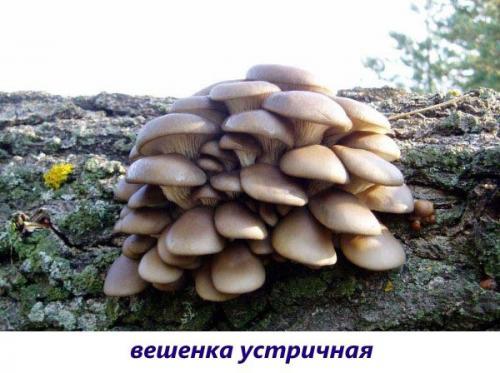Лесные съедобные грибы растущие на деревьях. Вкусные съедобные ксилотрофы