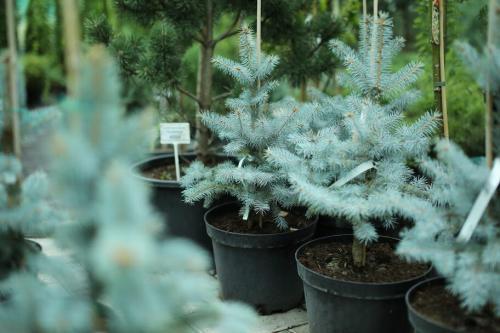 Зимовка молодых хвойников. Маленькой елочке здорово зимой: стоит ли укрывать хвойное дерево в мороз?