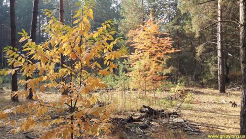 Грибы в сосновом лесу в октябре. Какие грибы растут в октябре