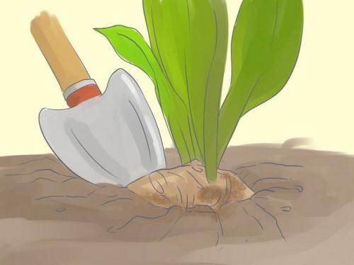 Когда выкапывать каллы. Когда и для чего выкапывать каллы осенью