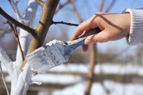 Как сохранить молодые саженцы зимой. Защита плодовых деревьев от заморозков зимой