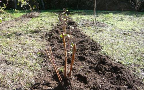 Как правильно посадить ремонтантную малину. Сроки посадки в разных регионах