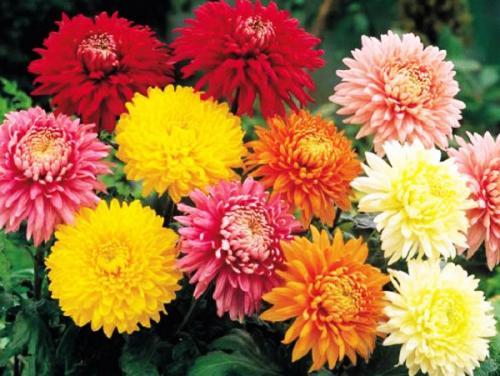 Как укрывать на зиму хризантемы. Какие сорта хризантем обязательно надо выкапывать на зиму и как сохранить их до весны.