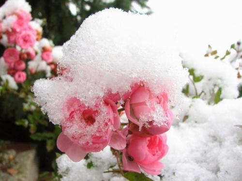 При какой температуре надо укрывать розы на зиму. При какой температуре укрывать розы на зиму: советы и рекомендации