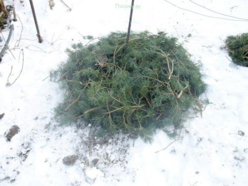 Подготовка к зиме виноградника в Подмосковье. Как укрыть виноград на зиму в Подмосковье