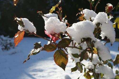 Чем укрыть розы если нет лапника. Укрытие роз на зиму: это важно учесть!