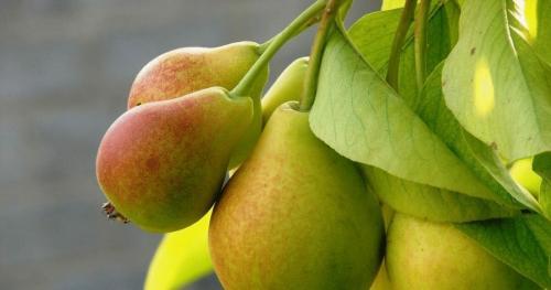 Почему груша не цветет и не плодоносит. Почему не плодоносит груша? Причины и методы решения проблемы