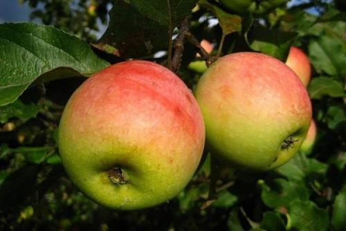 Осенние сорта яблок для средней полосы. Осенние сорта яблонь