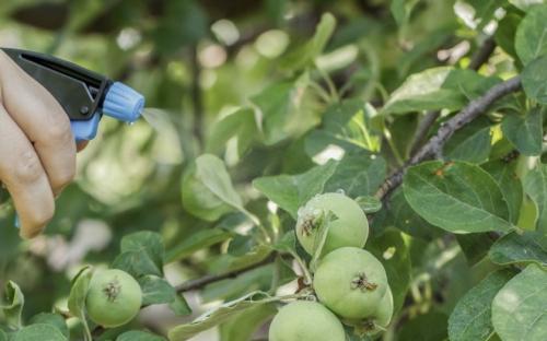 Чем обработать яблони и груши от парши. Особенности лечения парши на яблонях и грушах