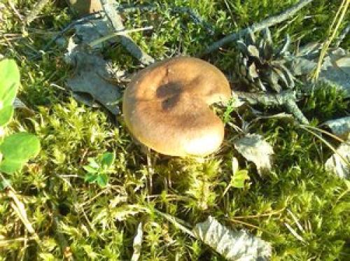 собирать грибы в сосновом бору