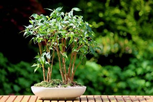 Как фикус сделать пышным. 5 советов для формирования пышной лиственной массы фикуса Бенджамина