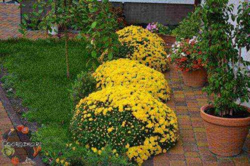 Уход за хризантемами шаровидными осенью. Хризантемы, посадка весной и осенью