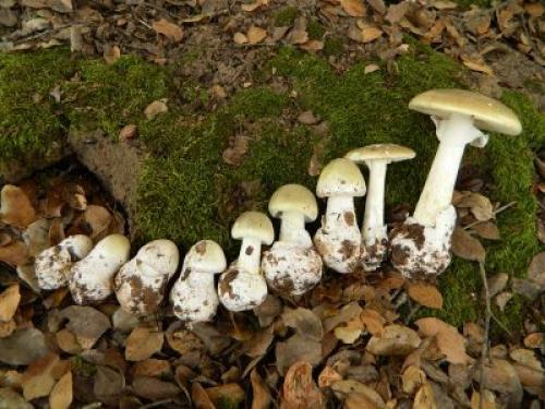 Как выглядят поганки, как грибы. Как выглядит бледная поганка