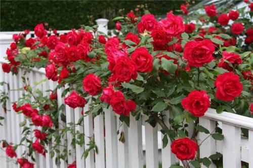 Полуплетистые розы обрезка. Какова цель осенней обрезки плетистой розы
