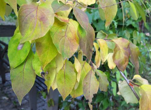 Какого цвета листья сирени осенью. Осенняя обрезка сирени для пышного цветения весной