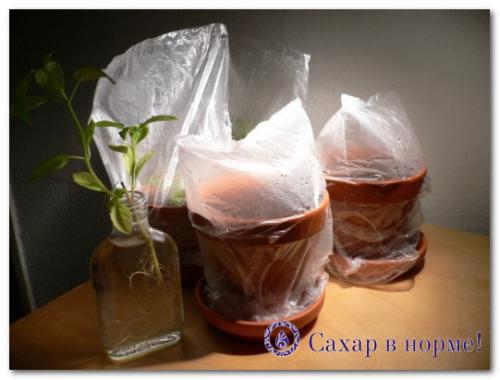 Стевия выращивание из семян. Как сеять семена стевии