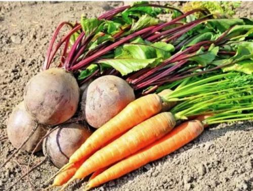 Оптимальные сроки уборки моркови. Благоприятные дни для уборки