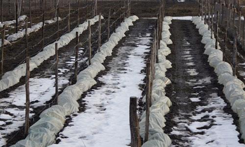 При какой температуре укрывают виноград в зиму. Когда и какое необходимо укрытие