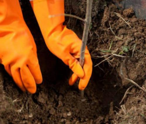 Как посадить малину. Когда лучше сажать, весной или осенью