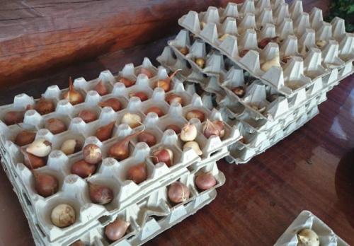 Как делить луковицы тюльпанов. Размножения тюльпанов, наиболее распространенным вариантом — луковицей