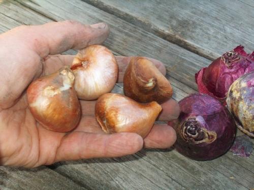 Как сохранить луковицы тюльпанов. Как хранить луковицы тюльпанов зимой: этапы работ и условия