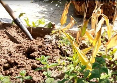 Как хранить тюльпаны после выкопки в домашних условиях. Когда выкапывать тюльпаны после цветения