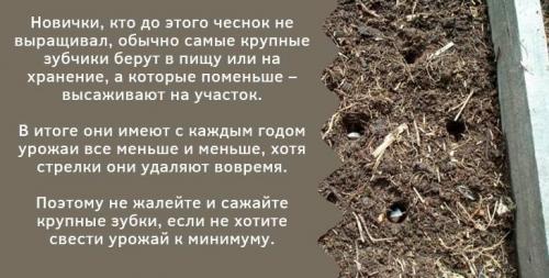 Посадка чеснока осенью в донбассе. Как правильно посадить чеснок осенью в открытый грунт?