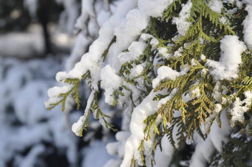 Укрытие на зиму хвойных растений. Чем укрыть на зиму тую, можжевельник и другие хвойные?