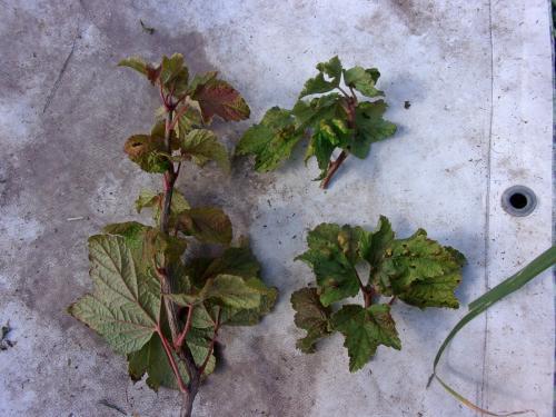 Подготовка кустов смородины и крыжовника к зиме. Осенняя обработка смородины, крыжовника, жимолости – залог будущего урожая
