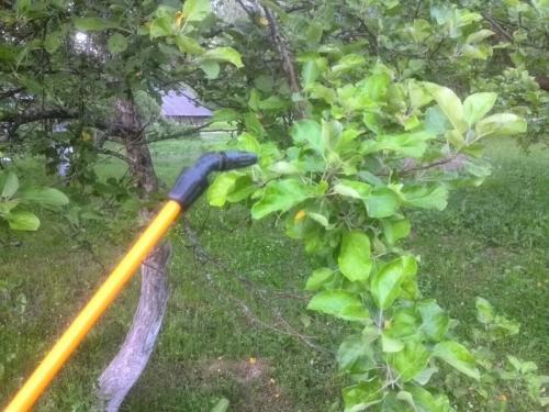Обработка деревьев осенью от парши. Чем обработать яблоню осенью от парши. Эффективные средства