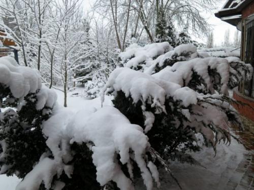Надо ли укрывать на зиму можжевельник. Надо ли укрывать можжевельники на зиму