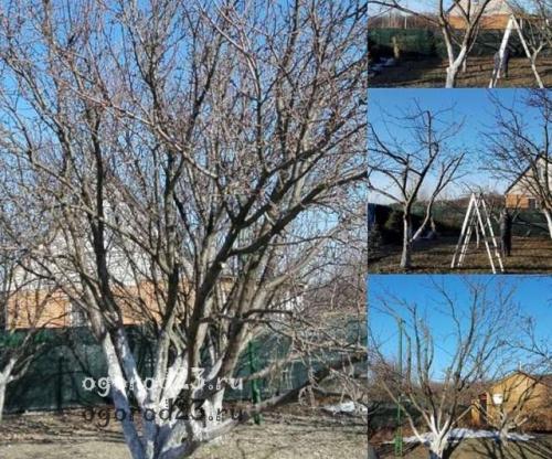 Обрезка молодых плодовых деревьев осенью. Осенняя обрезка плодовых деревьев, сроки