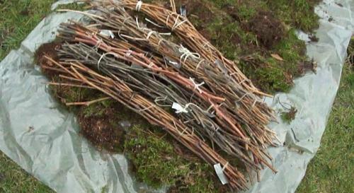 Хранение черенков винограда в земле. Как сохранить черенки винограда зимой