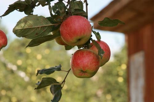 Лучшие сорта яблонь для Подмосковья форум. Лучшие сорта яблонь для Подмосковья, описание и фото, рейтинг