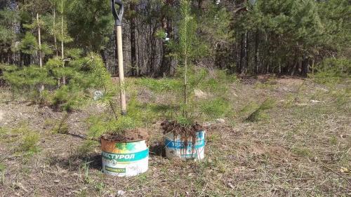 Когда можно пересаживать сосенки. Сосну из леса – на свой участок. Сделать все правильно.