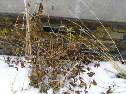 Жимолость, как укрывать на зиму. Когда готовить жимолость к зиме по регионам