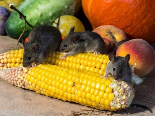 Как защитить грядки от мышей. Борьба с мышами на дачном участке: 5 лучших средств