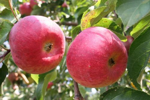 Красные осенние яблоки сорта. Осенние сорта яблонь:
