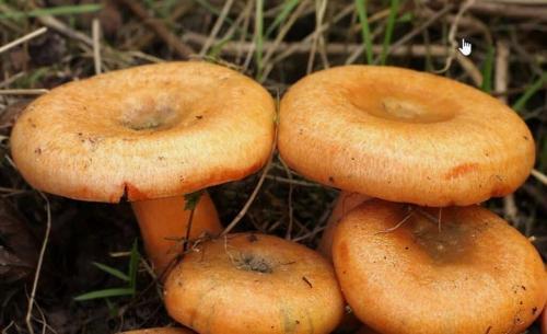 Отличие рыжика от волнушки. Что мы знаем о рыжиках. Интересные факты об этих замечательных грибах.