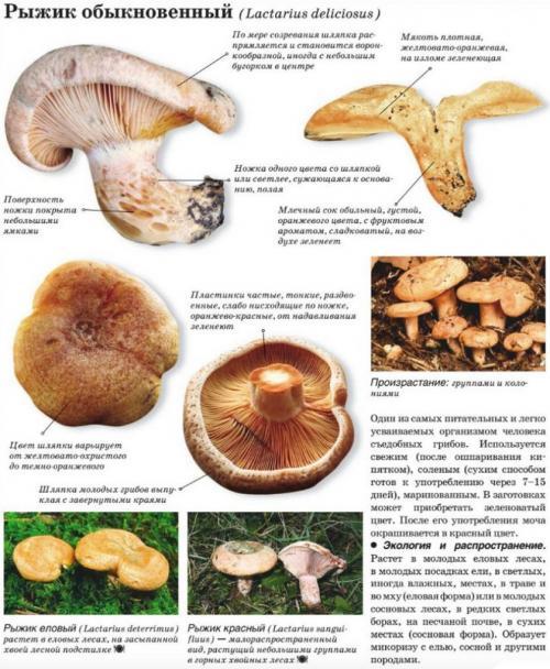 Рыжики грибы ложные, как отличить. Описание и отличие ложных рыжиков от настоящих