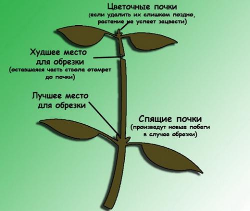 Как срезать фикус и посадить