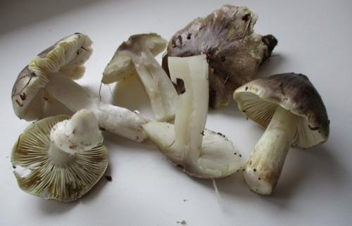 Сколько варить рядовки грибы. Сколько варить рядовки до готовности?