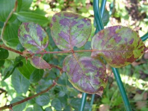 Уход осенью за плетистой розой. Как укрыть на зиму