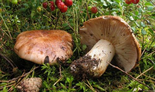 Как варить рядовки грибы. Как варить грибы для маринования?