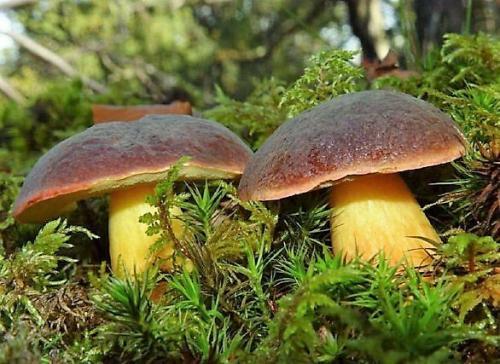 Съедобные грибы в польше. Польский гриб: особенности внешнего вида и ареал распространения