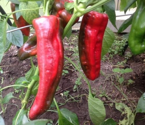 Самые урожайные сорта перца для открытого грунта. Урожайные сорта семян перца для обычных теплиц и теплиц из поликарбоната