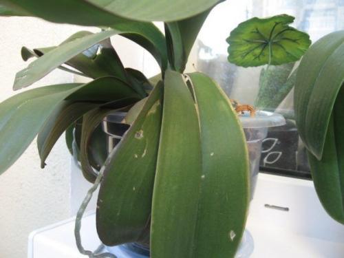 У орхидеи треснул лист посередине